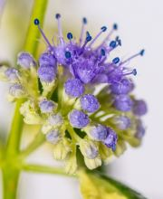 Bartblume White Surprise, Caryopteris clandonensis White Surprise