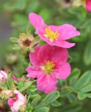 Fingerstrauch Pink Paradise, Potentilla fruticosa Pink Paradise