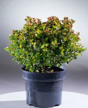 Stechpalme Little Gloss, Ilex meserveae Little Gloss