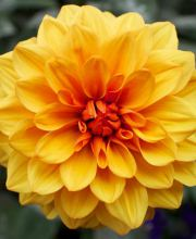Garten Dahlie Lubega Power Bronze Bicolor, Dahlia Lubega Power Bronze Bicolor