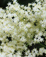 Holunder Golden Tower, Sambucus nigra Golden Tower