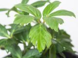 Christrose Advent Star, Helleborus niger Advent Star