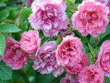 Rose Pink Grootendorst, Rosa rugosa Pink Grootendorst