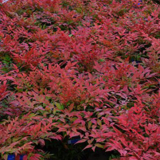 Heiliger Bambus Obsessed / Nandina domestica Obsessed
