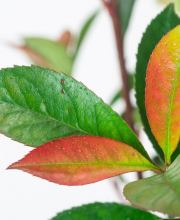 Glanzmispel Carre Rouge, Photinia fraseri Carre Rouge