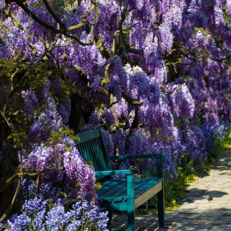 Blauregen Longwood Purple / Wisteria frutescens Longwood Purple