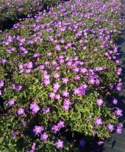 Storchschnabel Bloom Time, Geranium wallichianum Bloom Time