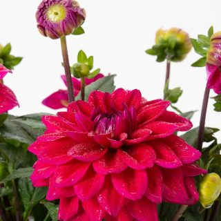 Dahlia Lubega Power Burgundy