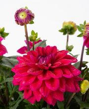 Dahlia Lubega Power Burgundy, Dahlia Lubega Power Burgundy