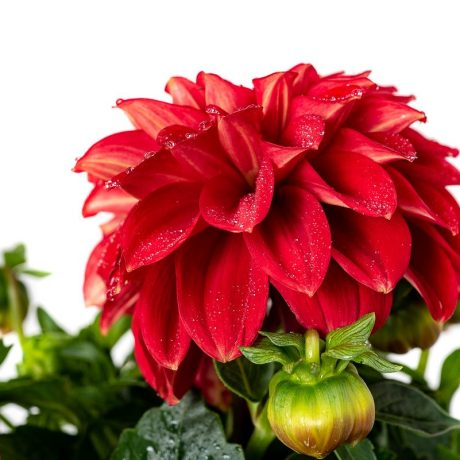 Dahlia Lubega Power Scarlet