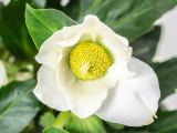 Christrose HGC Wintergold GoldCollection, Helleborus niger HGC Wintergold