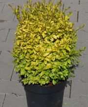 Ovalblättriger Liguster Lemon and Lime, Ligustrum ovalifolium Lemon and Lime ®
