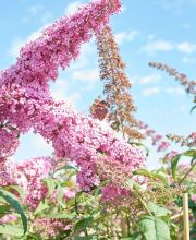 Sommerflieder Fascination, Buddleja davidii Fascination