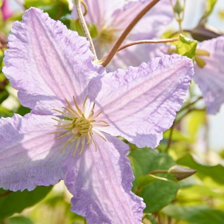 Waldrebe Little Nell / Clematis viticella Little Nell