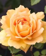 Golden Celebration - David Austin Strauchrose