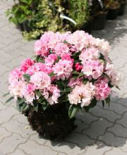 Rhododendron Maifreude