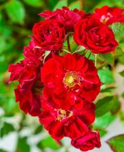 Rose Fairy Red 92