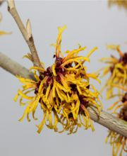 Orangeblühende Zaubernuss, Hamamelis intermedia Orange Beauty