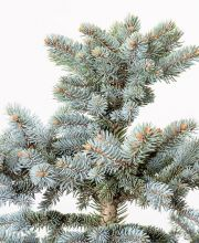 Blaufichte Fat Albert, Picea pungens Fat Albert