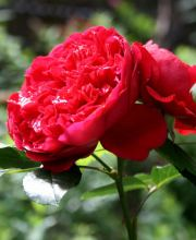 Rose Red Leonardo da Vinci ®
