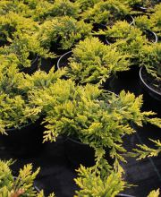 Teppichwacholder Golden Carpet, Juniperus horizontalis Golden Carpet