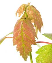 Rot-Ahorn Autumn Flame, Acer rubrum Autumn Flame