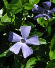 Jungfernkraut Josefine, Vinca minor Josefine