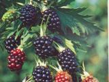 Brombeere Thornless Evergreen, Rubus fruticosus Thornless Evergreen