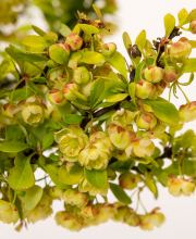 Gelbe Zwergberberitze Golden Nugget, Berberis thunbergii Golden Nugget