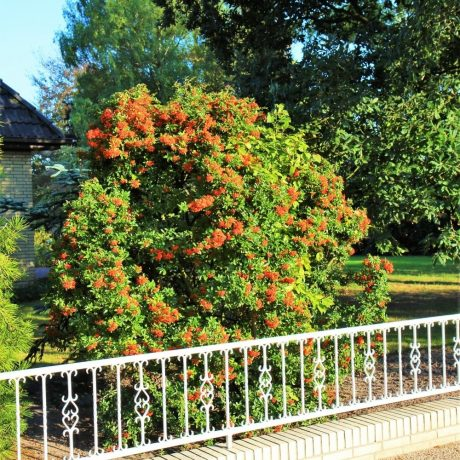Feuerdorn Red Column / Pyracantha Red Column