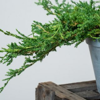 Teppichwacholder Prince of Wales / Juniperus horizontalis Prince of Wales