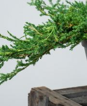 Teppichwacholder Prince of Wales, Juniperus horizontalis Prince of Wales