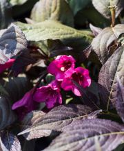 Dunkelrotblättrige Weigelie Minor Black®, Weigela florida Minor Black®
