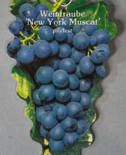 Tafeltraube New York Muscat