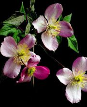 Berg-Waldrebe Pink Perfection, Clematis montana Pink Perfection