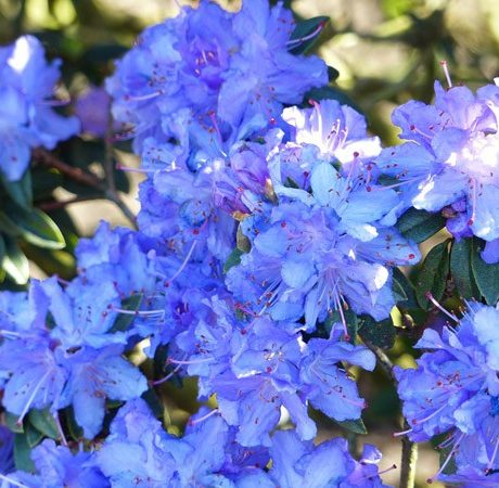 Rhododendron Blaumeise