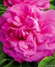 Rose Purple Roadrunner ®