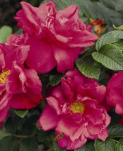 Bodendeckerrose Rosa rugosa Red Foxi ®, Rosa rugosa Red Foxi ®