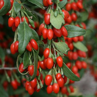 Goji-Beere Sweet Lifeberry ® / Lycium barbarum Sweet Lifeberry ®