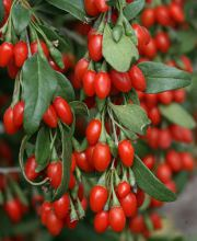 Goji-Beere Sweet Lifeberry ®, Lycium barbarum Sweet Lifeberry ®