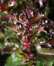 Stechpalme Magical Little Rascal ®, Ilex meserveae Magical Little Rascal