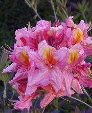 Rhododendron Azalee  Berryrose
