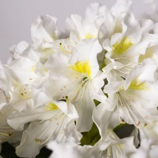 Rhododendron Cunninghams White