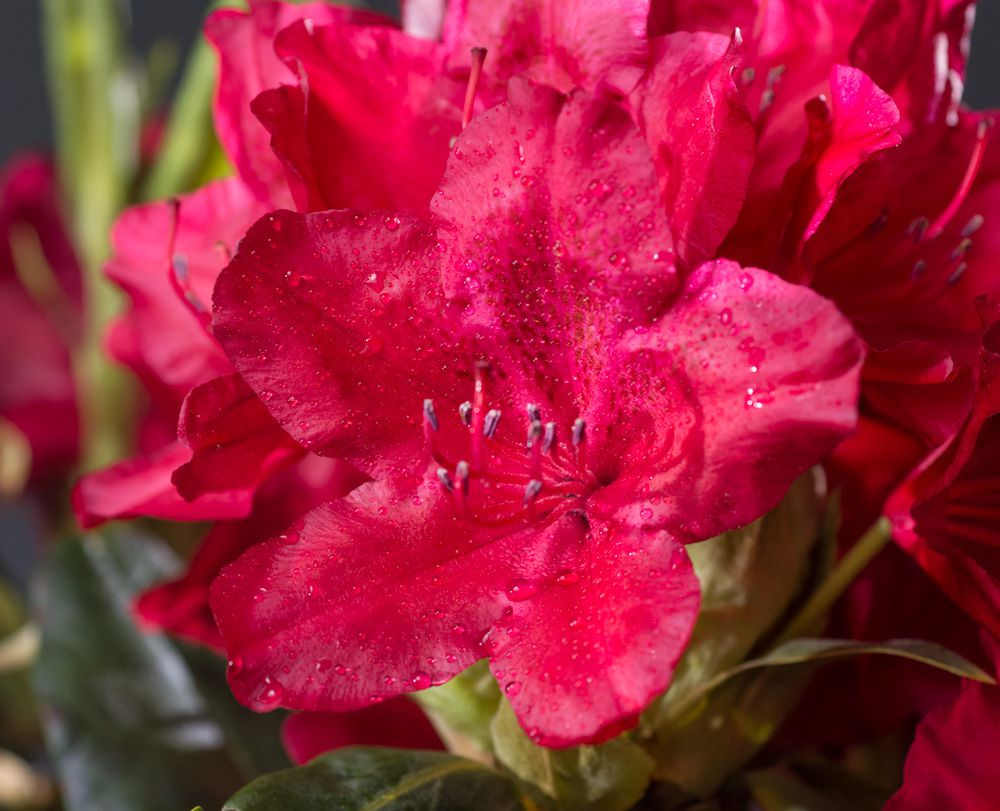 Rhododendron Dr. H. C. Dresselhuys