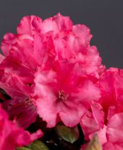 Rhododendron Lampion