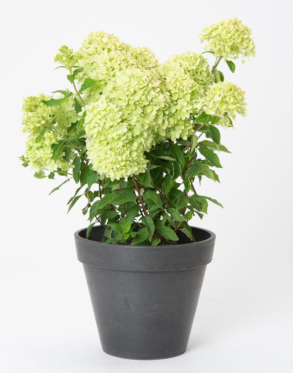 Rispenhortensie Little Lime
