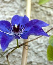 Waldrebe The President, Clematis Hybriden The President