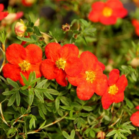 Fingerstrauch Red Ace / Potentilla fruticosa Red Ace