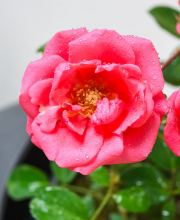 Rose Bella Rosa