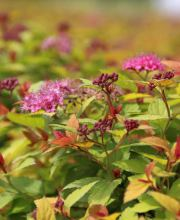 Sommerspiere Goldflame, Spiraea japonica Goldflame